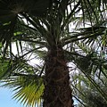Palm Tree In Almunecar by Chani Demuijlder