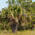 Palm Tree In Golden Grass by Bob Phillips