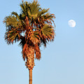 Palm Tree In Huntington Beach by Pierre Leclerc Photography