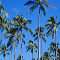 Palm Tree Panorama by David Cornwell/First Light Pictures, Inc - Printscapes