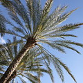 Palm Trees 2 by Rebecca Pavelka