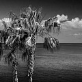 Palm Trees In Black And White At Laguna Beach by Randall Nyhof