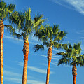 Palm Trees by Marc Bittan