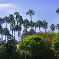 Palm Trees. My Beautiful California by Sofia Metal Queen