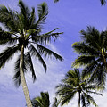 Palm Trees by Peter Lloyd