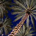 Palm Trees Wrapped In Lights by Lawrence S Richardson Jr