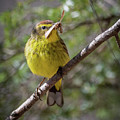Palm Warbler by Bill Wakeley