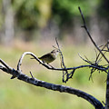 Palm Warbler Greetings by William Tasker