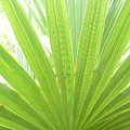 Palmetto by Kathy Schumann