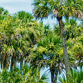 Palmetto Palm Trees In Sub Tropical Climate Of Usa by Alex Grichenko