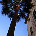 Palmetto Tree by Witt Lacy