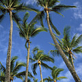 Palms And Blue Sky by Mary Van de Ven - Printscapes