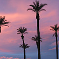 Palms At Sunset by Phyllis Kaltenbach