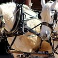 Palomino Horses by Colleen Cornelius