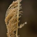 Pampas Grass by Alan Look
