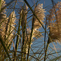 Pampas Grass At Sunset by Paul Kukuk