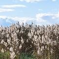 Pampas Grass by Steven Natanson