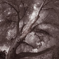 Pams Tree  Two B And W by Gary Bartoloni