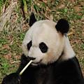 Panda Bear Eating Bamboo Shoots Up Close And Personal by DejaVu Designs