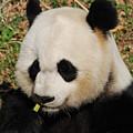 Panda Bear Eating Some Yummy Bamboo Shoots by DejaVu Designs