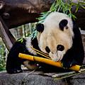 Panda Bear by Robert Bales