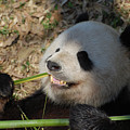 Panda Bear Showing His Teeth As He Munches On Bamboo by DejaVu Designs
