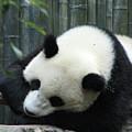 Panda Bear Sleeping On A Fallen Tree Branch by DejaVu Designs
