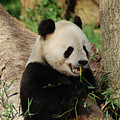 Panda Bear With Teeth Showing While He Was Eating Bamboo by DejaVu Designs