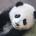 Panda Cub by Jerry Weinstein
