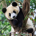 Panda Cub Resting On Tree by Feng Wei Photography