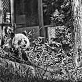 Panda Feast by Jody Lovejoy