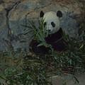 Panda Lunch by Jost Houk