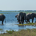 Panorama Of Elephant Herd Drinking From River by Ndp