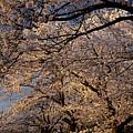 Panorama Of Forest Of Sakura Japanese Flowering Cherry Trees Wit by Reimar Gaertner