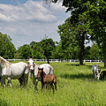 Panorama Of White Lipizzaner Mare Horses With Dark Foals Grazing by Reimar Gaertner
