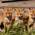 Panoramic Fox Kits by Mark Duffy