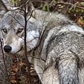 Panoramic Gray Wolf Yukon by Mark Duffy