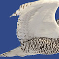 Panoramic Prairie Snowy Owl  by Mark Duffy