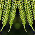 Panoramic Veil Of Ferns by Daniel Unfried