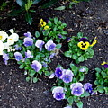 Pansies by Deborah  Crew-Johnson