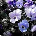 Violas Ocean Dream by Joan-Violet Stretch