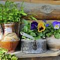 Pansies In Pots by Maxine Kamin