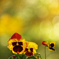 Pansies In The Autumn Glow by Dorothy Lee