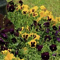 Pansies by Kim Henderson