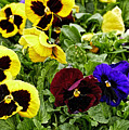Pansies Of A Different Color by Richard Belcastro