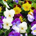Pansies by Sandy MacGowan