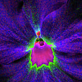 Pansy 05 - Photopower - Thoughts Of You by Pamela Critchlow