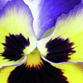 Pansy 10 - Thoughts Of You by Pamela Critchlow