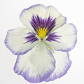Pansy 2 by Tony Cordoza