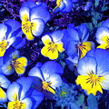 Pansy 3 by Pamela Cooper